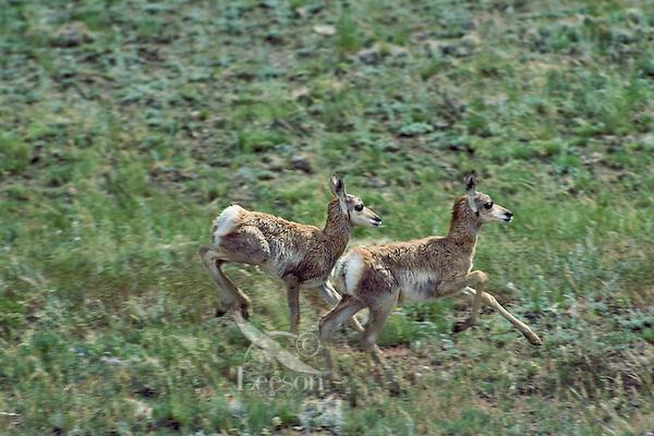 Pronghorn Antelope fawns running across prairie grasslands.  Western U.S., June.