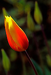 Single selective focus tulip has glow of reflected light.  Ghosts of other tulips in background.