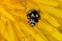 Vierzehnpunkt-Marienkäfer, Schachbrett-Marienkäfer, Vierzehnpunktiger Marienkäfer, Vierzehnpunktmarienkäfer, Schachbrettmarienkäfer, Propylea quatuordecimpunctata, Fourteen-Spot Ladybird Beetle