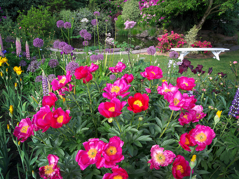 Peony at Schreiner's  iris Gardens. Brooks, Oregon