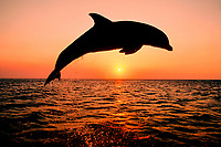 bottlenose dolphin, Tursiops truncatus, (c-r) Caribbean. Not to be used for anti-captivity campaigns.