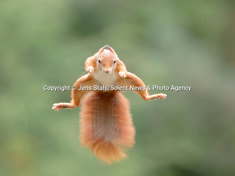 A red squirrel imitates a superhero as it flies through the air with a nut in its mouth.  The athletic 'super squirrel' was caught on camera leaping to collect nuts in a woodland clearing.<br /> <br /> Keen amateur photographer Jens Stahl, 52, took these photos near the Dutch town of Berghem.  SEE OUR COPY FOR DETAILS.<br /> <br /> Please byline: Jens Stahl/Solent News<br /> <br /> © Jens Stahl/Solent News & Photo Agency<br /> UK +44 (0) 2380 458800