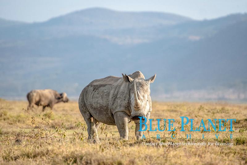 white rhinoceros, or square-lipped rhinoceros, Ceratotherium simum, Lake Nakuru National Park, Kenya, Africa