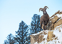 A young bighorn ram navigates the cliffs in the eastern Lamar Valley.
