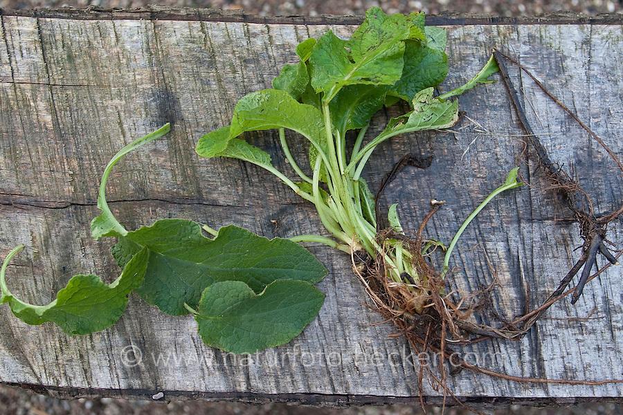 Gewöhnlicher Beinwell, ausgegrabene Pflanze mit Blättern mit Wurzeln, Symphytum officinale, Common Comfrey, Consoude officinale