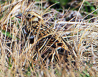 Smith's longspur in winter