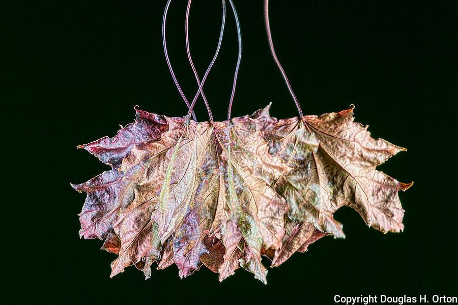 Multiple exposure of Big Leaf Maple leaf in fall color.