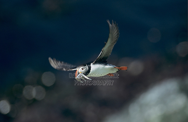 Atlantic Puffin (Fratercula arctica), adult in flight with sandeels in beak, Hornoya Nature Reserve, Vardo, Norway, June 2001
