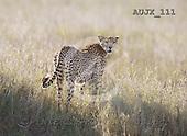 Dr. Xiong, ANIMALS, wildlife, photos, AUJX111,#a#