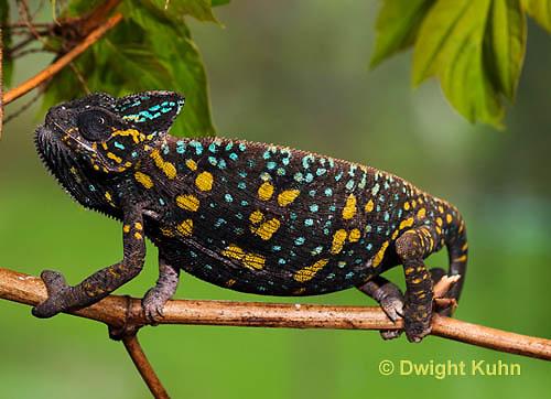 CH39-500z  Female Veiled Chameleon in display colors, Chamaeleo calyptratus