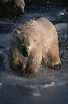 Polar bear shaking off water