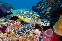 Hawksbill Sea Turtle Reef, Eretmochelys imbricata, Sipadan, Borneo, Malaysia, Pacific Ocean
