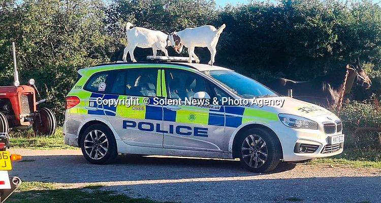 Pictured:  The pair of goats stood on top of the police car.<br /> <br /> You've goat to be kidding me... Police officers had a surprise when they returned to their parked car in the countryside and found an unlikely pair on top of it - two goats.  A photograph snapped by an officer captures the hilarious moment the animals clambered on top of the marked car after climbing up.<br /> <br /> Officers from Isle of Wight Police had visited a remote field on the outskirts of Newport to assist the Royal Navy Explosives team in exploding a newly-discovered World War Two bomb.   SEE OUR COPY FOR DETAILS.<br /> <br /> © Solent News & Photo Agency<br /> UK +44 (0) 2380 458800
