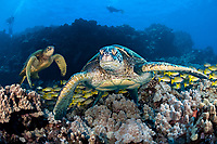 Three images were combined for this shot of green sea turtles, Chelonia mydas, an endangered species. Hawaii, USA, Pacific Ocean (dc)