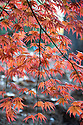 Autumn foliage of Acer palmatum 'Trompenburg', early November.