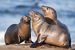 La Jolla, California; a pair of California sea lion pups bond with their mother in early morning sunlight, while resting on the rocky shoreline after a swim in the Pacific Ocean