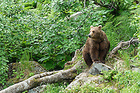 Redoubt Bay, Alaska, Brown Bear