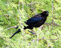 Male bronzed cowbird