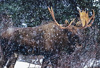 Bull moose in a boreal forest during a winter snowstorm. Denali National Park, Alaska.