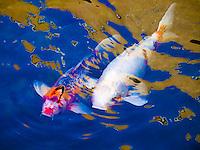 Koi fish swim under a reflective design on a pond's water surface, Big Island.