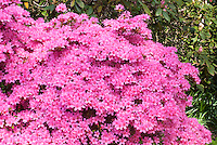 Rhododendron Hinomayo Evergreen Kurume Azalea pink flowers