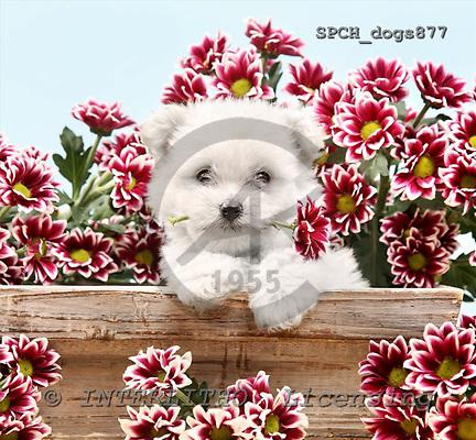 Xavier, ANIMALS, dogs, photos+++++,SPCHDOGS877,#a# Hunde, perros