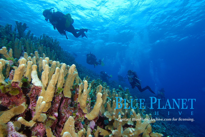 Survey divers on ascent over coral reef, mainly Acropora palifera, Namu atoll, Marshall Islands, Micronesia, Pacific Ocean