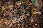 Mountain Lion (Puma concolor) fifteen day old kittens in den, Santa Cruz Puma Project, Santa Cruz Mountains, California