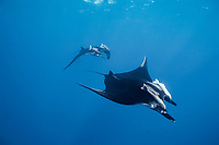 giant oceanic manta ray, Isla San Benedicto, Mobula birostris, formerly Manta birostris, Mexico, East Pacific Ocean