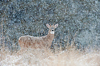 Young White-tailed Deer buck (Odocoileus virginianus) in heavy snow flurry, Western U.S., Late Fall.
