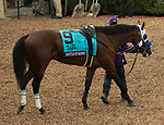 DEL MAR, CA - NOVEMBER 03: Battle of Midway #9 walks in the paddock before the Breeders' Cup Las Vegas Dirt Mile on Day 1 of the 2017 Breeders' Cup World Championships at Del Mar Thoroughbred Club on November 3, 2017 in Del Mar, California. (Photo by Casey Phillips/Eclipse Sportswire/Breeders Cup)