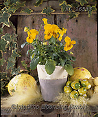 Interlitho-Alberto, FLOWERS, BLUMEN, FLORES, photos+++++,yellow flowers,KL16533,#f#, EVERYDAY