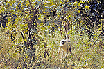 Black-faced Langur