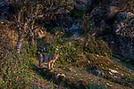 Iberian Lynx (Lynx pardinus), Sierra de Andujar Natural Park, Sierra de Andujar, Sierra Morena, Andalusia, Spain