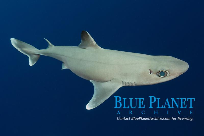 Cuban Dogfish, Squalus cubensis, Exuma Sound, Bahamas, Atlantic Ocean