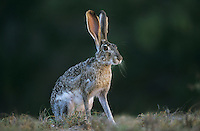 Black-tailed Jackrabbit, Lepus californicus, adult, Starr County, Rio Grande Valley, Texas, USA