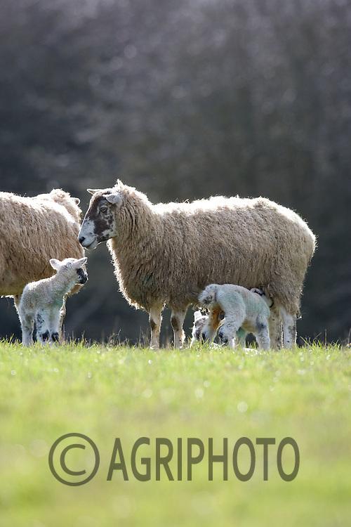 Ewe With New Born Lambs