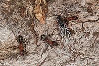 Blutrote Raubameise, Arbeiterin gemeinsam mit geflügelten Männchen, Blutrote Waldameise, Raubameisen, Waldameisen, Formica sanguinea, Raptiformica sanguinea, blood-red ant, slave-making ant