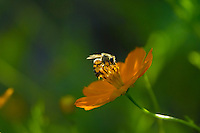 Honeybee (Apis mellifera).  Arizona.  Fall.