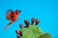 northern cardinal, Cardinalis cardinalis, male landing on Texas prickly pear cactus, Opuntia lindheimeri, Dinero, Lake Corpus Christi, Texas, USA, North America