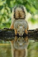 Eastern Fox Squirrel (Sciurus niger), adult drinking, Hill Country, Texas, USA