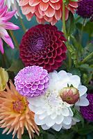 Dahlia mixture variety colors types