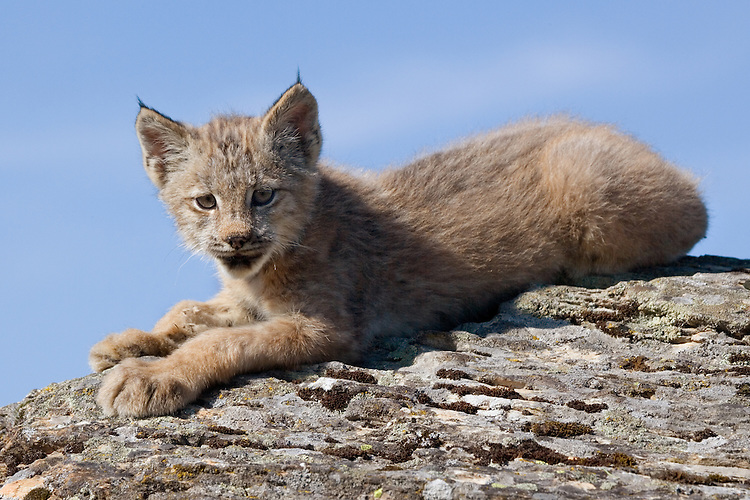 Canada Lynx kitten laying on top of a rocky hill - CA