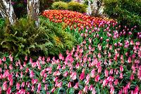 Roozengaarde display garden with Claudia tulips in foreground. Mt. Vernon. Washington