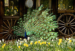 A peacock displays his feathers, McLaughlin's Daffodil Hill in bloom, Volcano, Calif.