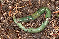 Grüner Regenwurm, Smaragdgrüner Regenwurm, Allolobophora smaragdina, Earthworm