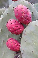Tripoli, Libya - Prickly Pear Cactus Fruit