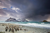 king penguin, Aptenodytes patagonicus, South Georgia, South Atlantic Ocean