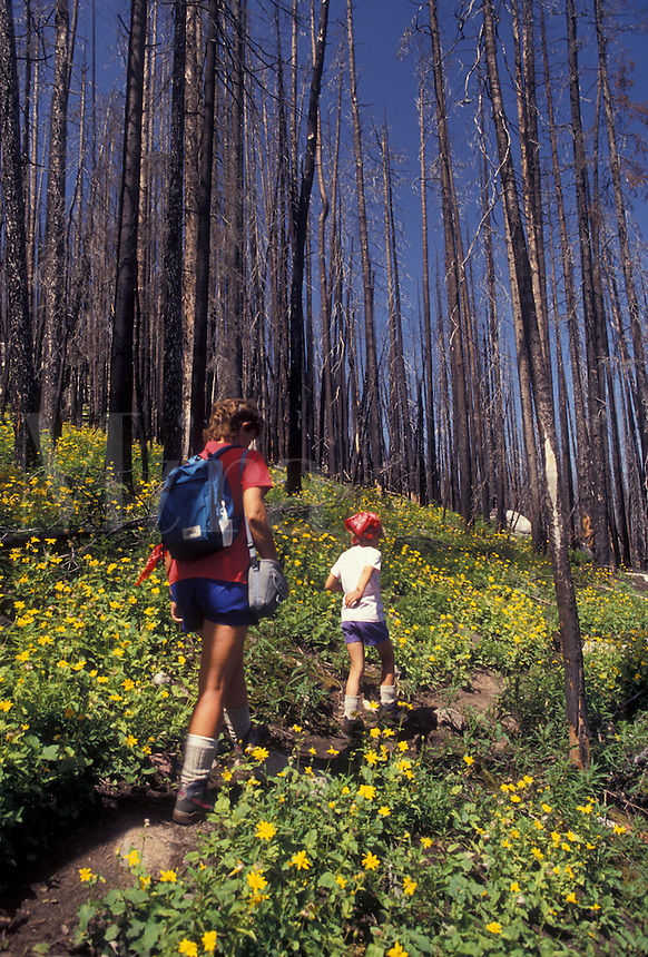 AJ3562, Yellowstone National Park, hiking, forest fire, Yellowstone, Wyoming, Mother and daughter hike through the burned forest from the 1988 forest fire in Yellowstone National Park in the state of Wyoming. Yellow wildflowers grow on the forest floor showing rebirth of the forest.