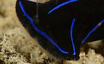 Blue Velvet Headshield Slug , Chelidonura varians, Anilao